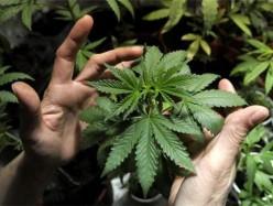 Alameda縣檢方對數十年大麻相關定罪採取動作