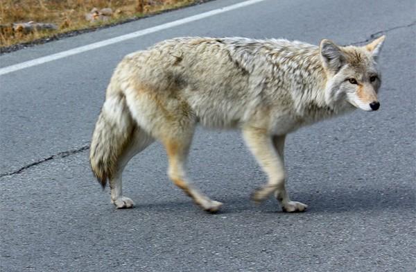 遛狗遇到郊狼時的應對