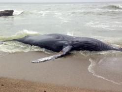 一頭座頭鯨屍體被沖上中半島海灘