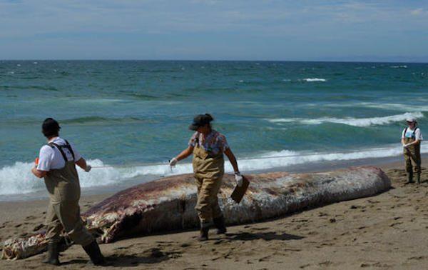 罕見突吻鯨屍陳Point Reyes海灘 科學家抓住機會研究