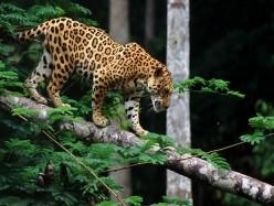 美國第二隻美洲豹現蹤南亞利桑納