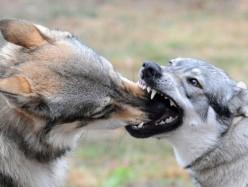 如何避免你的愛犬被攻擊