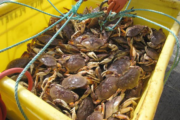 北加州海岸商業珍寶蟹季再被推遲