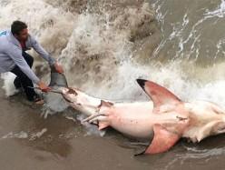 Monterey Bay擱淺白鯊被割掉背鰭